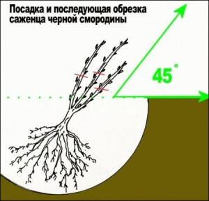 Как правильно посадить черную смородину