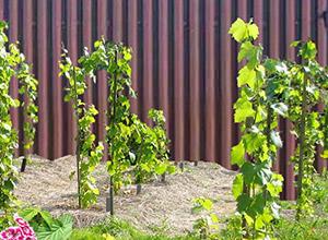 Особенности ухода за виноградом