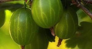 плодоносит