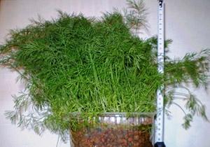 Посев укропа пошагово