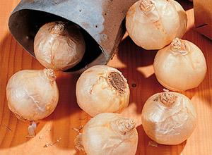 Особенности размножения гиацинтов