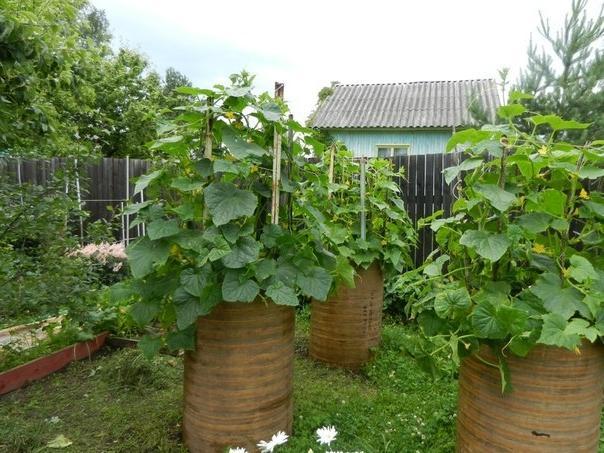 Выращивание огурцов в бочке описание метода