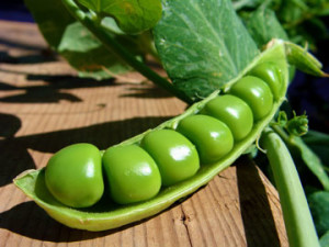 Как посадить горох в огороде