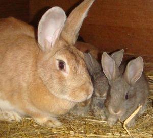 Крольчиха_с_крольчатами