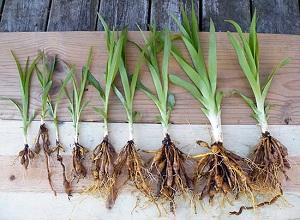 daylilies-tubers77777