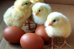 выведение цыплят в инкубаторе в домашних условиях видео инструкция - фото 2