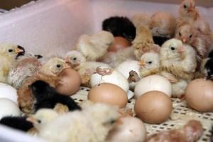 выведение цыплят в инкубаторе в домашних условиях видео инструкция img-1