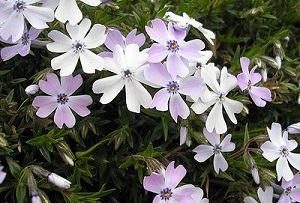 phlox-whitest-400x2713333
