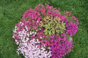 Низкорослые многолетники для клумбы цветущие все лето