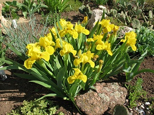 Миниатюрные карликовые Ирисы - великолепное украшение садового участка