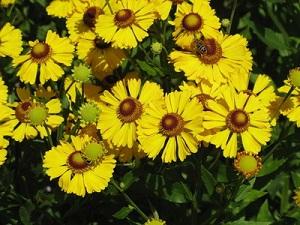 Солнечный цветок - Гелениум