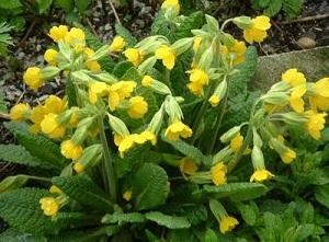 Примула (первоцвет) - невысокое травянистое растение