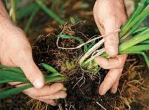 Деление куста - самый простой способ размножения многолетника