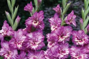Гладиолусы садовые