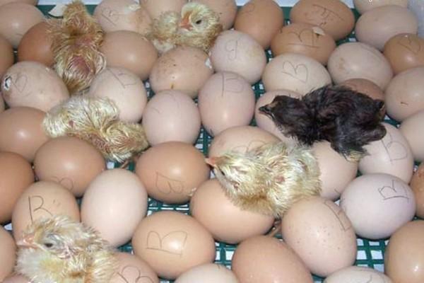 Процесс инкубации яиц