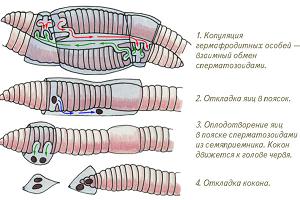 Как оплодотворяются черви