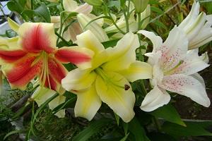 Лучшие виды и сорта лилий