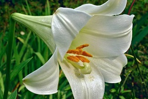 Цветок трубчатой лилии