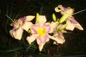 Лилейник цветет ночью