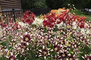 Азиатские лилии в цветнике
