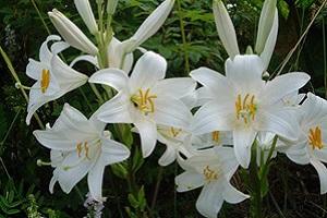 Цветок белоснежного гибрида