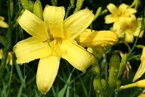 Лилейник лимонно-желтого вида