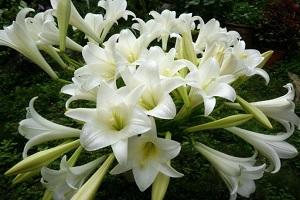 Цветок гибрида лонгифлорум