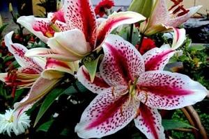 Цветок межвидового гибрида