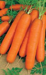 Морковь Самсон Ф-1