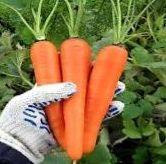 Морковь хорошо растет рядом с редисом, салатом и картофелем