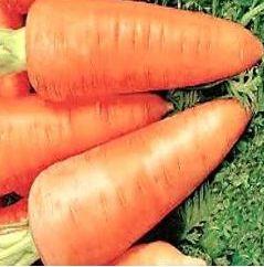 Урожайность «Шантанэ 2461» - 4 -9 кг/м2