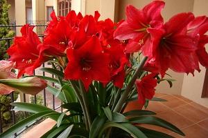 Цветок гиппеаструма