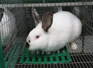 Порода кроликов Хиплус - основа промышленного кролиководства в Европе