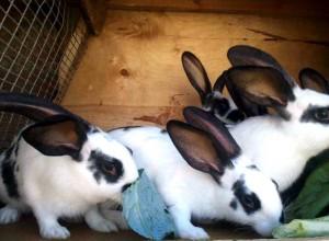 Разведение кроликов - один и самых рентабельных бизнесов на рынке мясной продукции