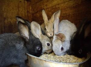 Уход за кроликами - не сложен, но требует от владельца определённых знаний и навыков