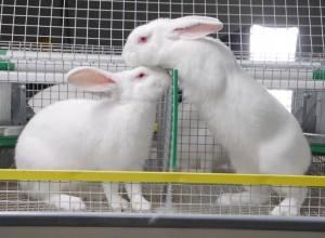 Потребителями мяса кроликов являются люди всех возрастов