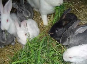 Кроликам мясных пород необходимо обеспечить полноценное питание