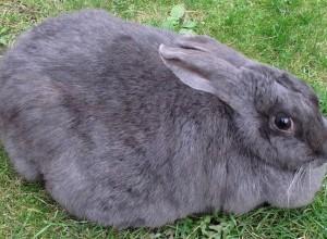 Беременная самка кролика