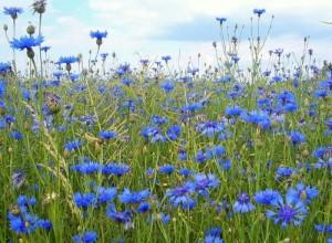 Какие прекрасные сорняки! Синенькие огонечки на фоне лазурного неба