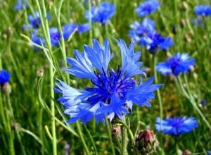 Для лекарственных целей собирают краевые цветки корзинок