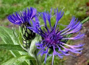 Краевые соцветия у этого вида перистые, а расположенные в середине трубчатые