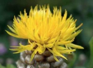 Цветы этого вида по своей форме похожи на соцветия чертополоха