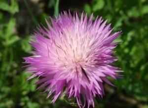 Амбербоа (василек мускусный) - однолетнее растение с тонким приятным ароматом
