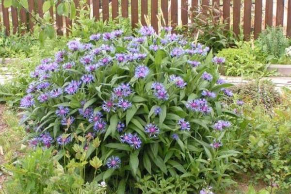 Васильки, растущие в форме куста, следует разделять и рассаживать 1 раз на 2-3 года