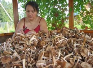 Заготовка маслят на зиму начинается с чистки грибов