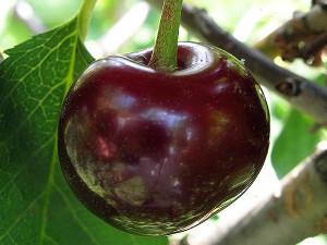 """Плод вишни """"Встреча"""""""