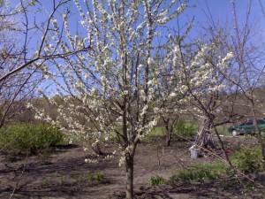 Цветущее дерево черешни Ипуть