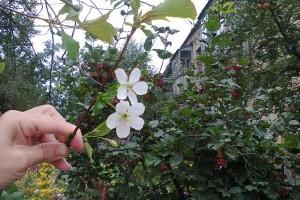 """Цветение вишни """"Малышка"""""""