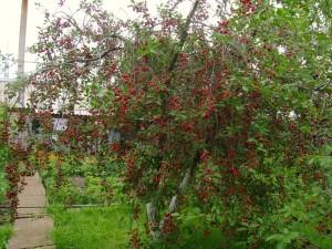 Дерево вишни Шпанка