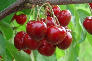 """Плоды вишни """"Щедрая"""""""